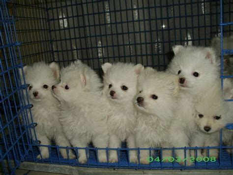 pomeranian price in malaysia pomeranian white for sale adoption from bangkok adpost classifieds