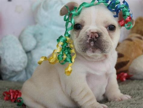 bulldog puppies for sale 500 bulldog puppies for sale 500 dogs in our photo