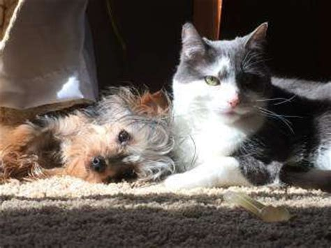 yorkie and cats terriers and cats