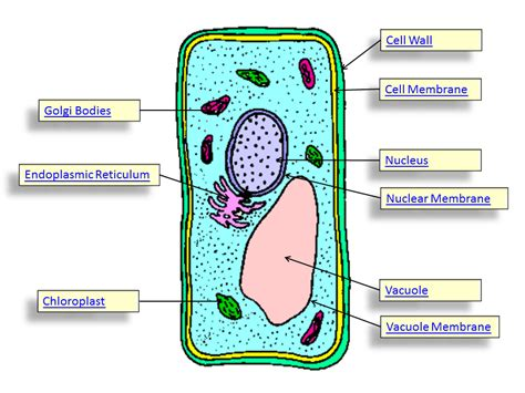 plant cells diagram parts of a plant cell