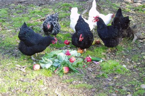 Where To Buy Backyard Chickens Better Eggs From Backyard Chickens Without Grain Garden Culture Magazine