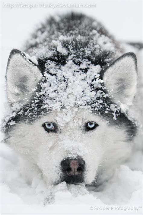 snow husky puppy snow 7015 by sooper husky on deviantart