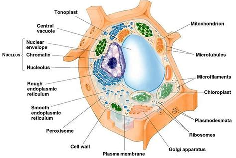 plant cell diagram labeled plant cell labeled cell structure function