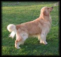 arcane golden retrievers golden puppies 30 9 11 quot charlies litter quot lentigo kennels