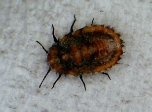 bed bugs spanish unknown spanish insect may be mealybug what s that bug