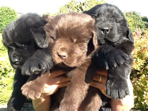 newfie puppies for sale quality newfoundland puppies for sale yarm pets4homes