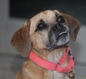 pug breeders rochester ny pin by dauenhauer on adopt a shelter pet