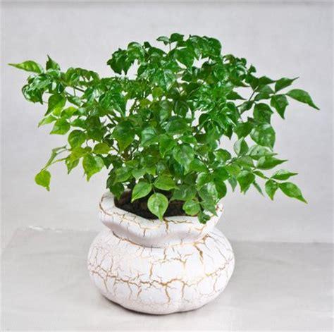 china doll house plant radermachera plant www coolgarden me