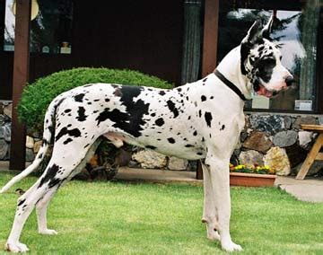 black and white great dane puppies harlequin great dane certain great dane whites bred to black great danes may produce