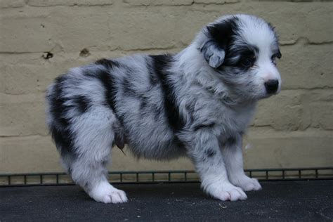 merle border collie puppies border collie blue merle puppies picture
