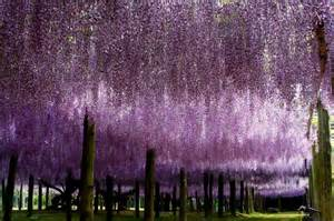 Kawachi Fuji Garden by Travel Trip Journey Kawachi Fuji Gardens Japan