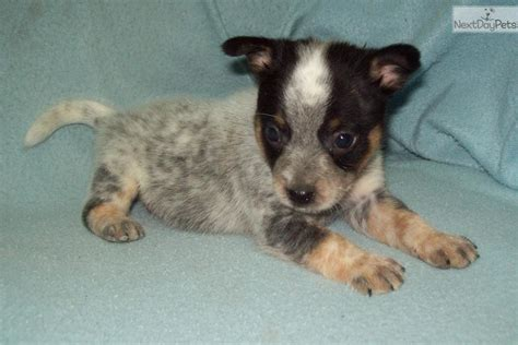mini blue heeler puppies for sale australian cattle blue heeler puppy for sale near bend oregon 93ab1d36 bde1