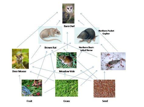 barn owl food web diagram barn owl food web s