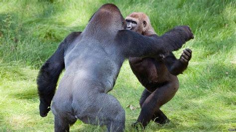 BBC News - Gorilla brothers Kesho and Alf 'joy' at ...