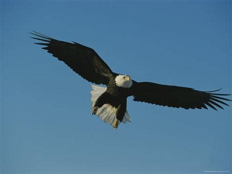 Foot Detox Eagles Landing by With A Seven Foot Wing Span A Northern American Bald
