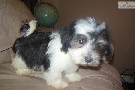 havanese puppies temperament meet funk a havanese puppy for sale for 600 mr personality