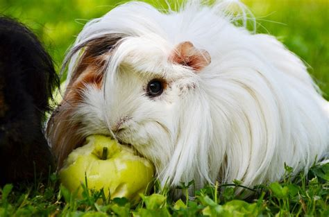can eat apple can guinea pigs eat apples