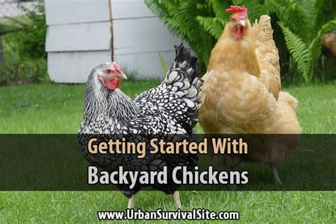 getting started with backyard chickens survival site