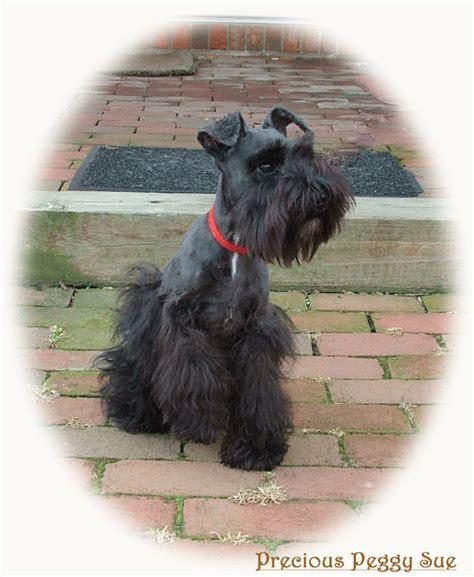 schnauzer puppies for sale in ohio miniature doberman rescue ohio breeds picture