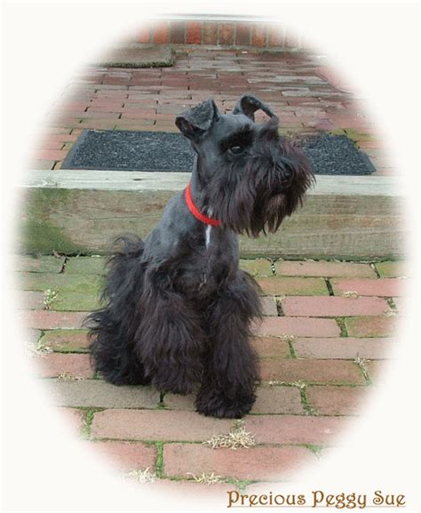 miniature schnauzer puppies for sale in ohio miniature doberman rescue ohio breeds picture