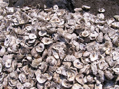 oyster shell living shorelines