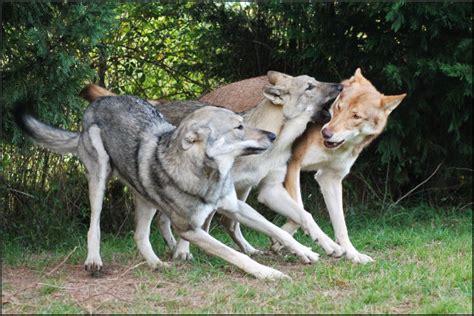 lade berger caract 232 re et comportement elevage chien loup de saarloos