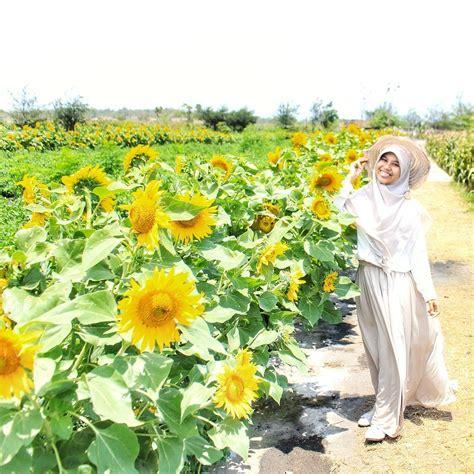 lokasi kebun bunga matahari bantul spot foto