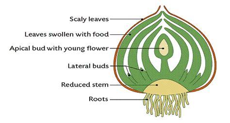 scion plant definition vegetative propagation plant propagation