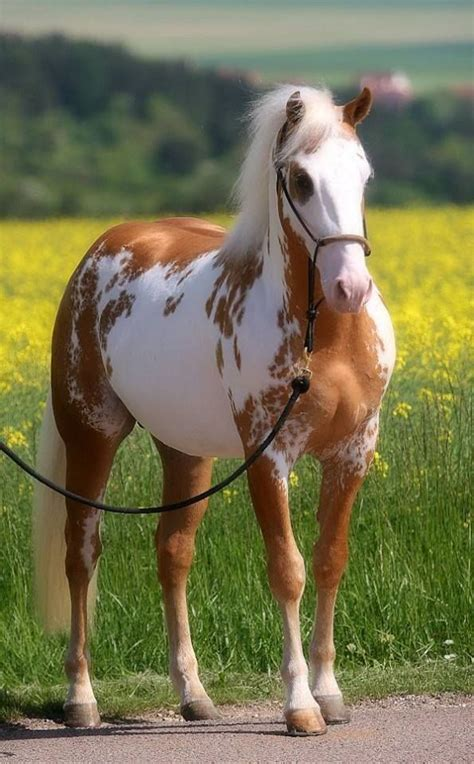 palomino overo paint horses paint horses palomino and horses