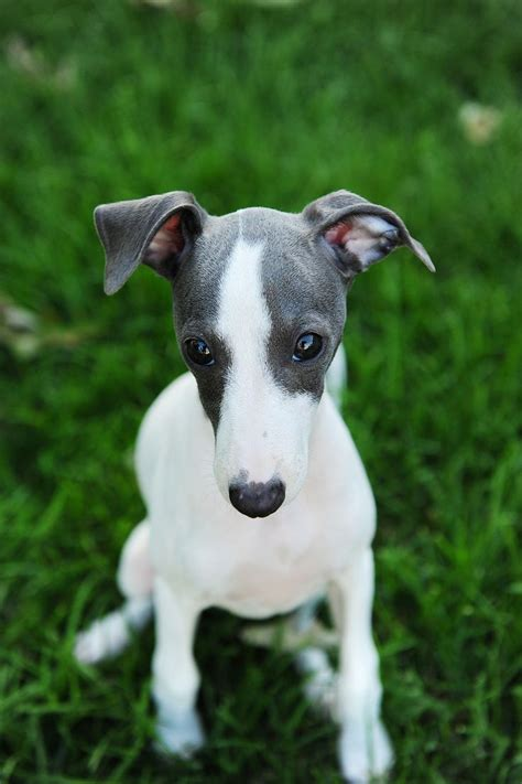 332 best images about for italian greyhounds on