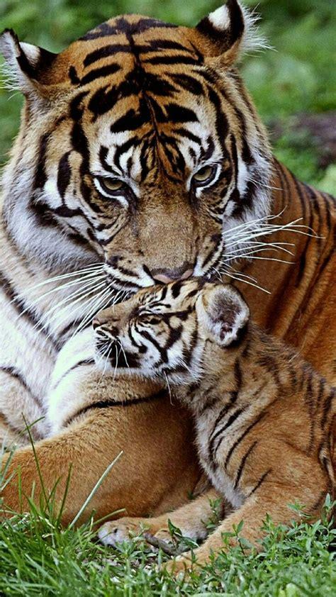minicuentos de tigres y 8448837118 m 225 s de 25 ideas incre 237 bles sobre tigre de bengala en tigres tigres blancos y lindos