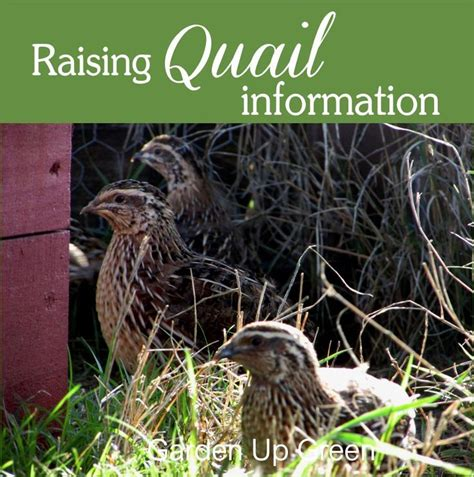 raising quail in your backyard 180 best quail coturnix california other s images on