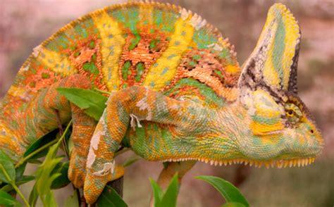 veiled chameleon colors chameleons use color to communicate biologists say