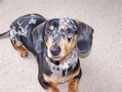 dapple puppies miniature dachshund silver dapple miniature dachshund silver m5x breeds picture