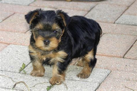 yorkie puppies in hawaii yorkie puppy outdoor jpg 1 comment hi res 720p hd