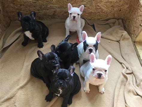 french bulldog for sale uk french bulldog puppies for sale leigh on sea essex