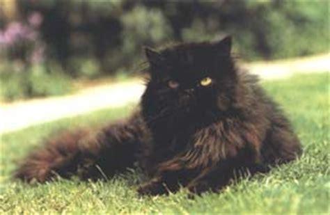 gatti persiani neri persiano nero