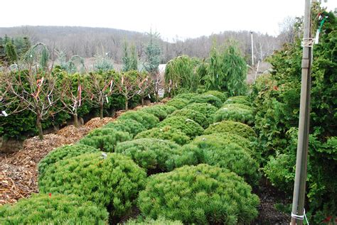 Planters Choice Newtown Ct by Specialty Conifers Planters Choice