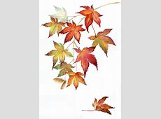 Cynthia Armstrong Art | Fine Art | Watercolor Japanese Maple Leaf Drawing