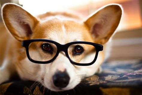 puppy with glasses 31 photos of dogs wearing glasses mnn nature network