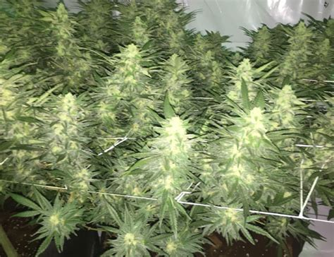 Top High Yield Strains List Indoor Outdoor Seeds Mold Northern Lights Outdoor Yield
