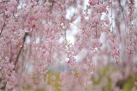 bunnings cherry blossom 88 best weeping trees images on flowering trees nature and cherry blossoms
