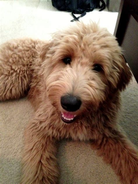 haicuts for goldendoodles goldendoodle goldendoodle haircuts pinterest l wren