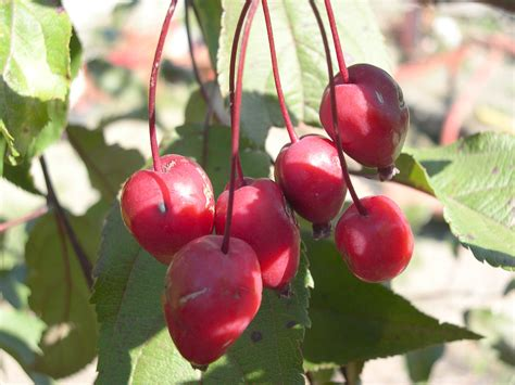 fruit tree supplies malus ellerslie