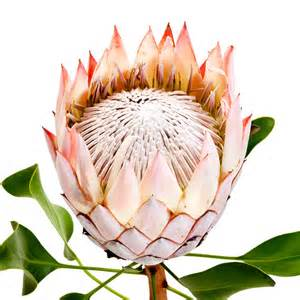 4 Parts Of A Flower - king protea bloom photograph by john pagliuca