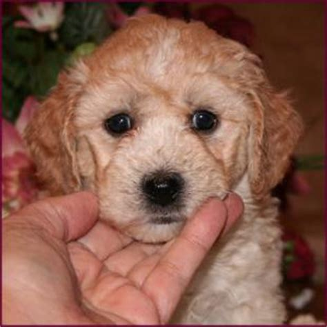 poochon haircuts poochon grooming styles 60 best images about bichon