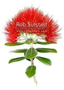best real christmas tree nz pohutukawa flowers myrtaceae metrosideros excelsa new zealand tree white