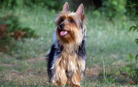 silky yorkie puppy silky terrier vs terrier breeds picture