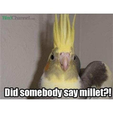 Meme Bird - 71 best images about cockatiel memes on pinterest