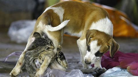 and cats ancient cats are responsible for the demise of ancient dogs quartz